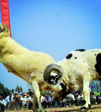 斗羊大赛 场面震撼千人围观