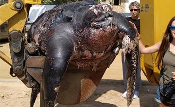 巨型珍稀海龟误食塑料垃圾死亡