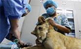 """小狮子骨折被送宠物医院 狮子不发威成真病""""猫"""""""