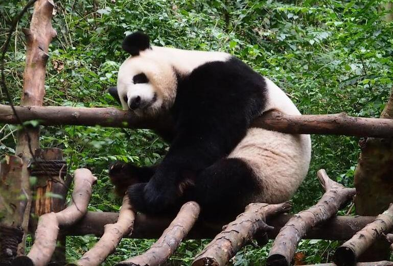 """成都大熊猫展现奇特""""销魂""""睡姿"""