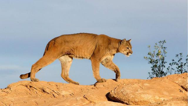 美洲狮夜闯校园 窗前不断徘徊