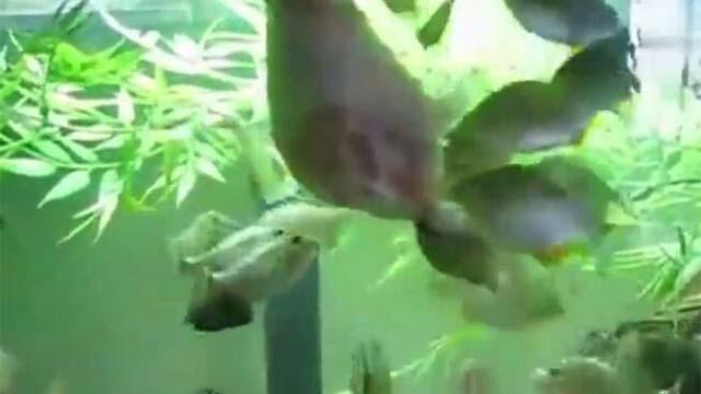 把鸡腿给食人鱼什么反应?