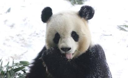 """大熊猫""""思嘉""""雪中撒欢萌态百出 width="""