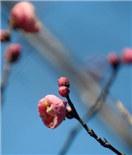 吐蕊飘香 扬州瘦西湖红梅怒放迎春