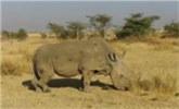 走向灭绝!全球最后一头雄性北方白犀牛离世