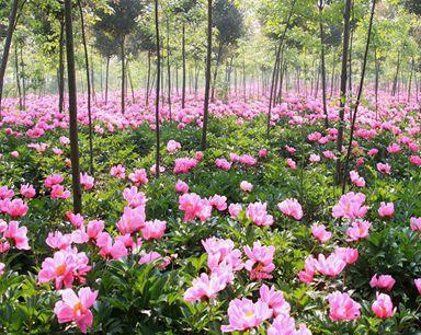 安徽巢湖:千亩芍药花开 吸引大量游人