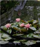 朵朵睡莲初夏开放 花景相映一派美景