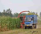民权县:金秋青贮玉米正当时