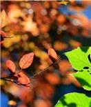 彩叶抹浓妆 秋色已斑斓