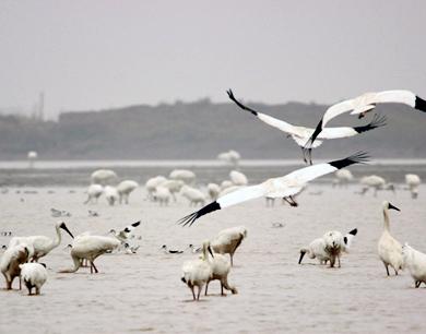 鄱阳湖畔美如画 候鸟齐飞似天堂