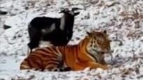 这只山羊跟老虎住一起生命无虞 还胖了40斤?