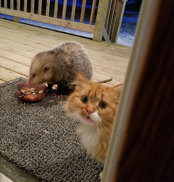 橘座眼睁睁看着粮食被负鼠抢了 委屈巴巴