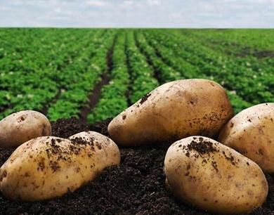 马铃薯产业
