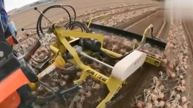 日本农民驾驶农机干活 液压马达驱动洋葱水平送料