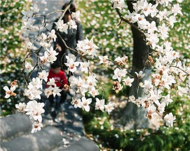 【宁波】中山公园玉兰盛放 洁白如雪