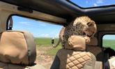 非洲猎豹闯入汽车后座 游客经历惊险