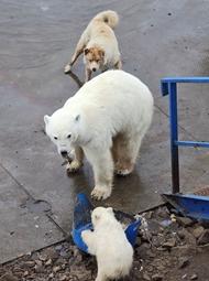 饥饿北极熊刨食人类剩饭被狗赶