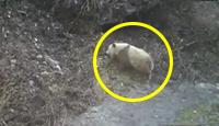 熊猫没墨了?陕西发现罕见灰色大熊猫