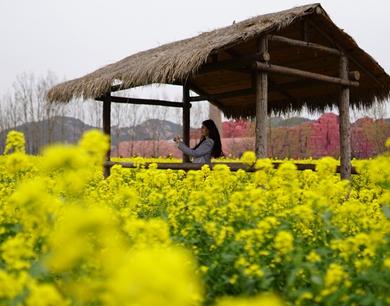 """百亩金色花海袭来!青岛西海岸开启""""赏花游园""""模式"""