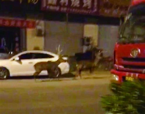 两头梅花鹿冲上马路被撞死 山东蓝翔:我们养的