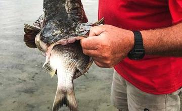 大鱼吞下整只小鱼后被噎死