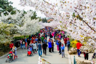 最佳赏樱期要来了 四月与最美的樱花相遇!