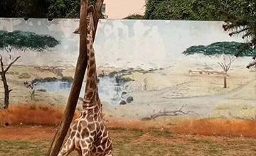 昆明动物园长颈鹿头卡树杈致死