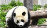 成都多只大熊猫遭遇