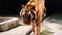 桂林熊虎山庄饲养员被老虎咬死 事发前在打扫卫生