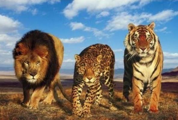 德国一城市两歌词,两狮子和一只美洲豹从动物园逃出蝴蝶七彩老虎中文图片