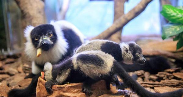 """中国首例斑狐猴三胞胎在广州诞生,系马达加斯加特有珍稀物种"""""""