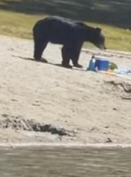 黑熊现身加拿大沙滩觅食,吓跑游客