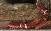 山东章丘养3亿只蟑螂吃餐厨垃圾:设3重防逃体系