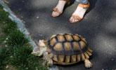 龟兔赛跑乌龟能赢?科学家:乌龟一生走的路比兔子多