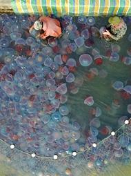 辽宁:大量海蜇抢滩登陆