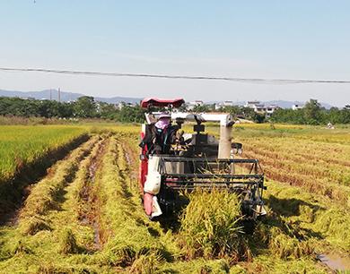 大余:水稻收割机奏响丰收乐章