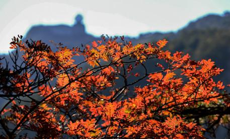 十月枫叶红 最佳赏秋期