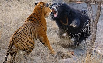 为保护幼崽  熊妈妈勇斗双虎