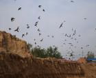 綠洲生態好 燕兒再筑巢——民權:崖沙燕又飛回來了!