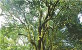 大雪山尋訪古茶樹