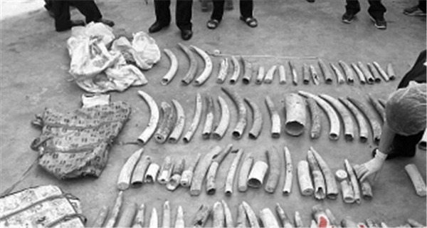 湛江海关严打濒危物种走私 查获象牙逾8吨