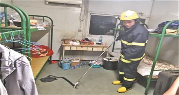 中山:工厂宿舍惊现眼镜王毒蛇 幸无人员受伤