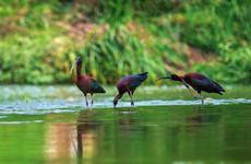 增强湿地资源保护 陕西首次发现珍稀鸟类彩鹮踪迹