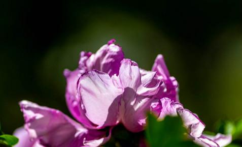 长春牡丹园牡丹花万花齐放