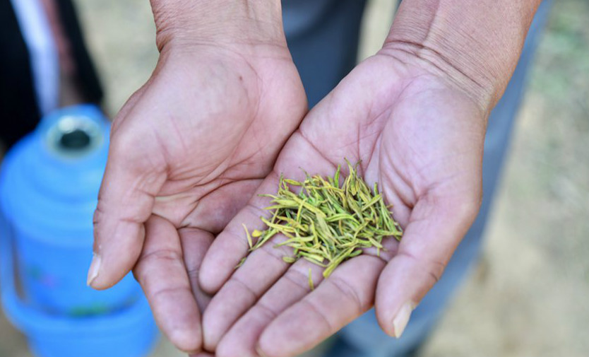 茶叶飘香助脱贫