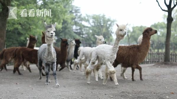 天气炎热羊驼集中理发 上海动物园tony老师出手了