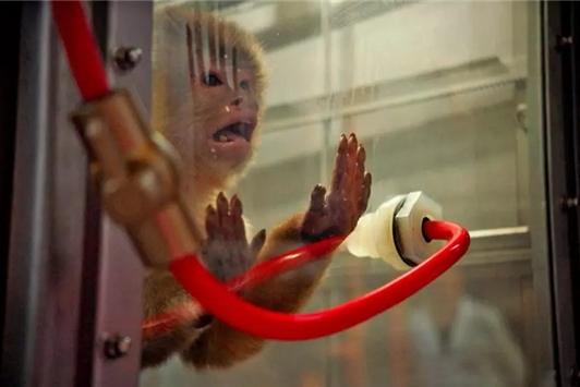 大众厉害了 强迫10只中国猴子吸4小时尾气