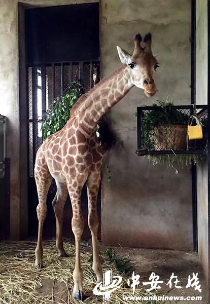 """合肥野生动物园长颈鹿家族""""千里选婿"""""""