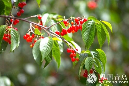红灯樱桃树叶子图片