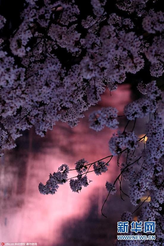 弘前公园的护城河被飘落的樱花花瓣染成了梦幻的粉色